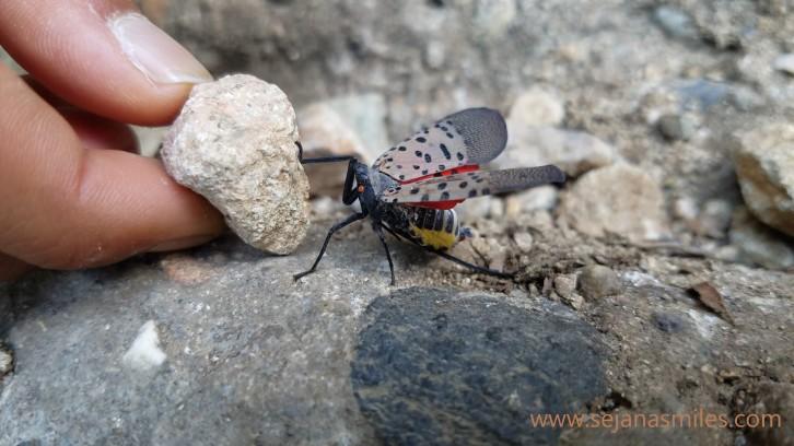 mount apsan unidentified bug1